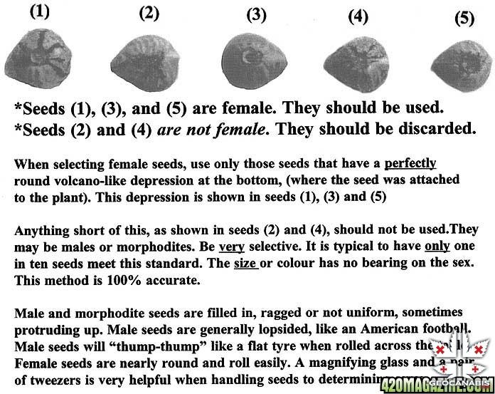 Identifying_Female_Cannabis_Seeds.jpg