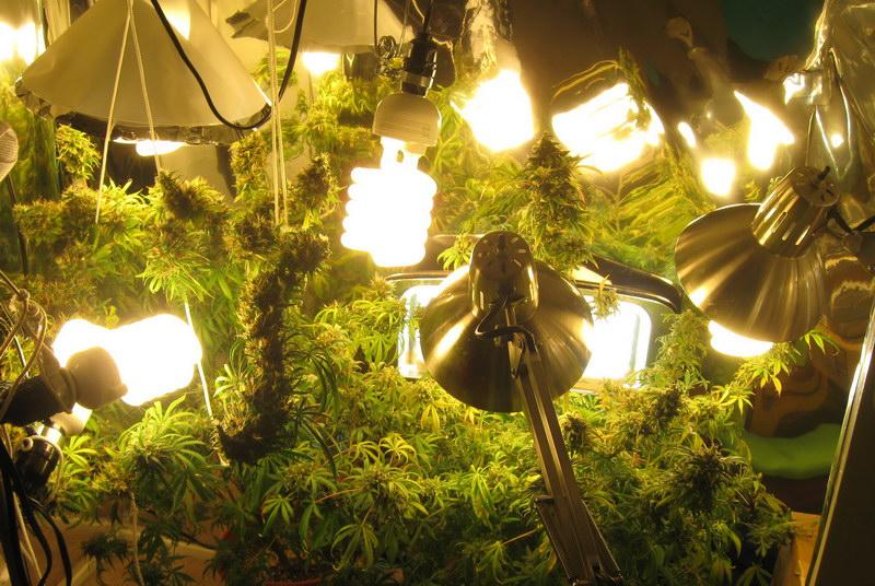 cfl_marijuana